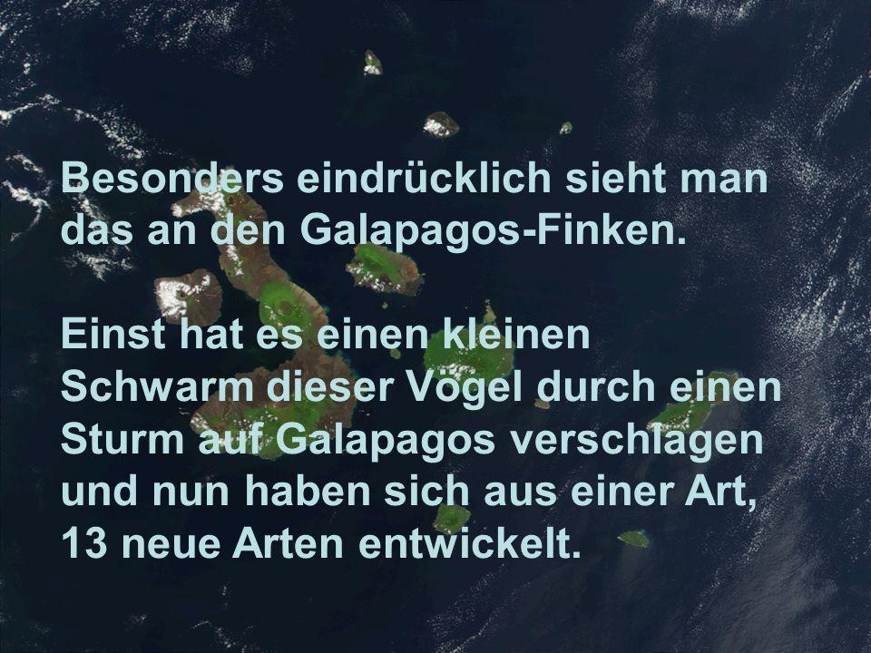 Besonders eindrücklich sieht man das an den Galapagos-Finken. Einst hat es einen kleinen Schwarm dieser Vögel durch einen Sturm auf Galapagos verschla
