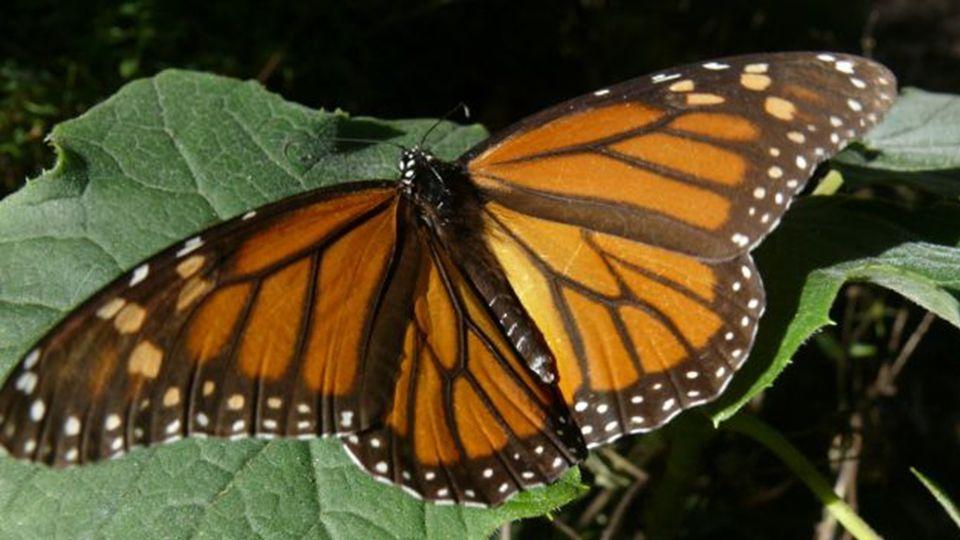 Die Migration des Monarch-Schmetterlings, USA und Südamerika