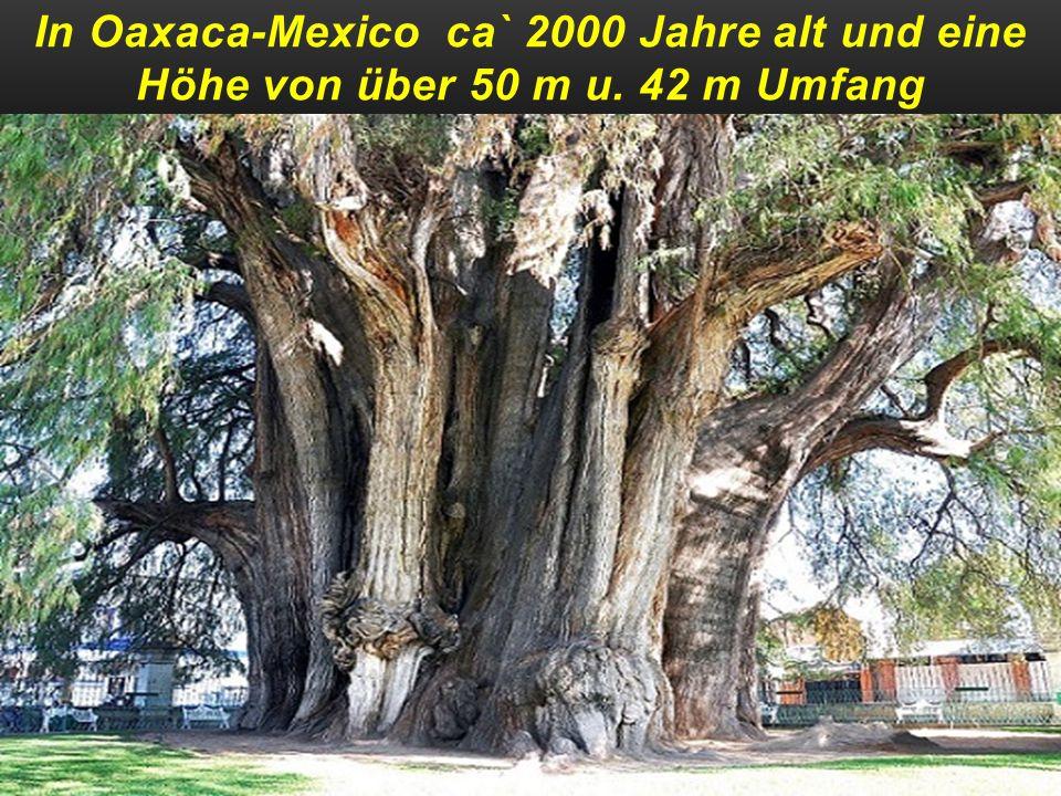 Ein Mammutbaum in den USA ca` 2500 Jahre alt