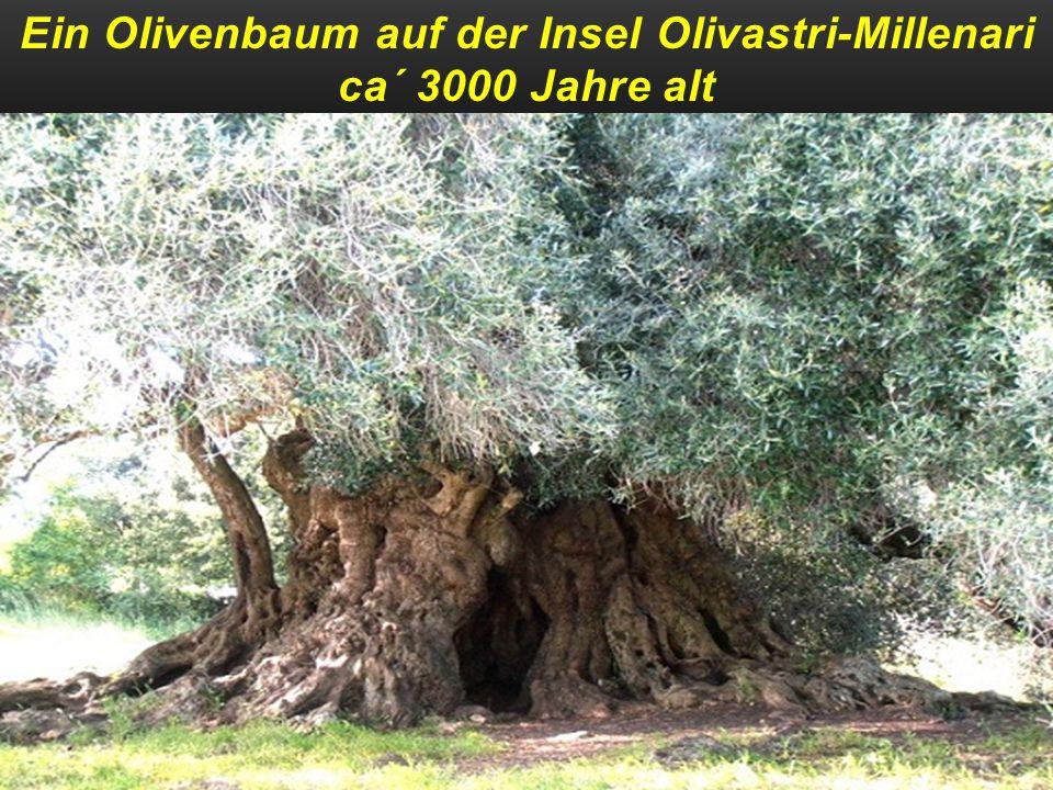Ein uralter Olivenbaum auf Zakynthos