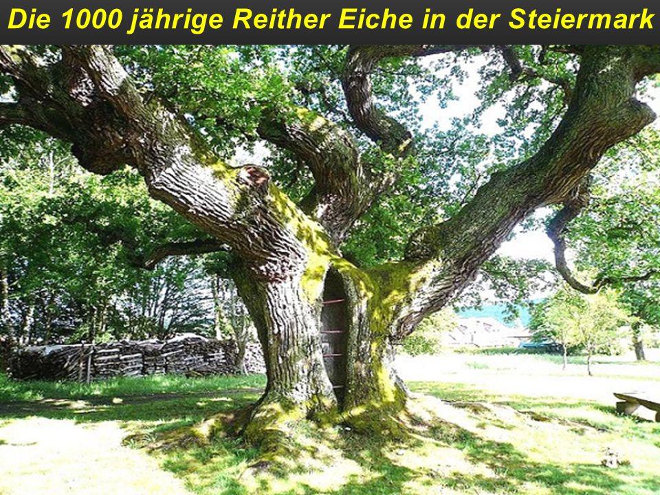 Ein Olivenbaum auf der Insel Olivastri-Millenari ca´ 3000 Jahre alt