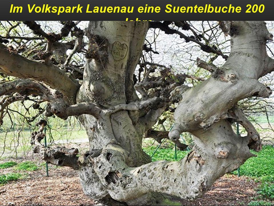 Die 1000 jährige Reither Eiche in der Steiermark
