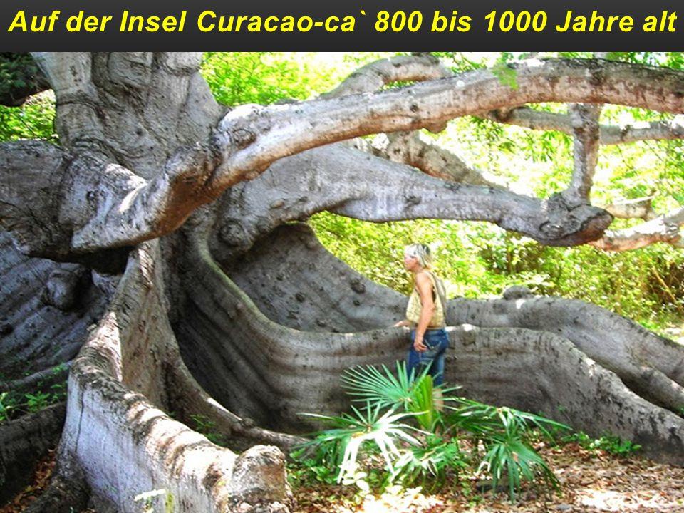 In Oaxaca-Mexico ca` 2000 Jahre alt und eine Höhe von über 50 m u. 42 m Umfang