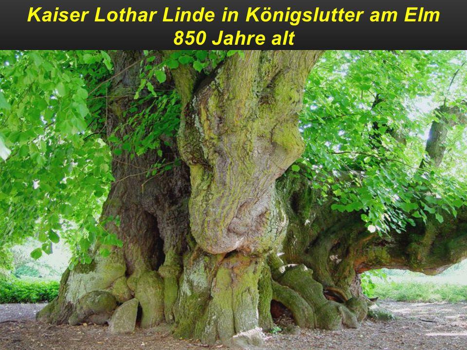 Kaiser Lothar Linde in Königslutter am Elm 850 Jahre alt