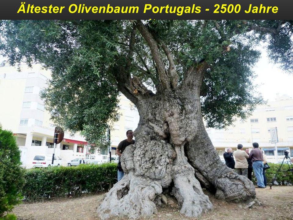 Ältester Olivenbaum Portugals - 2500 Jahre alt