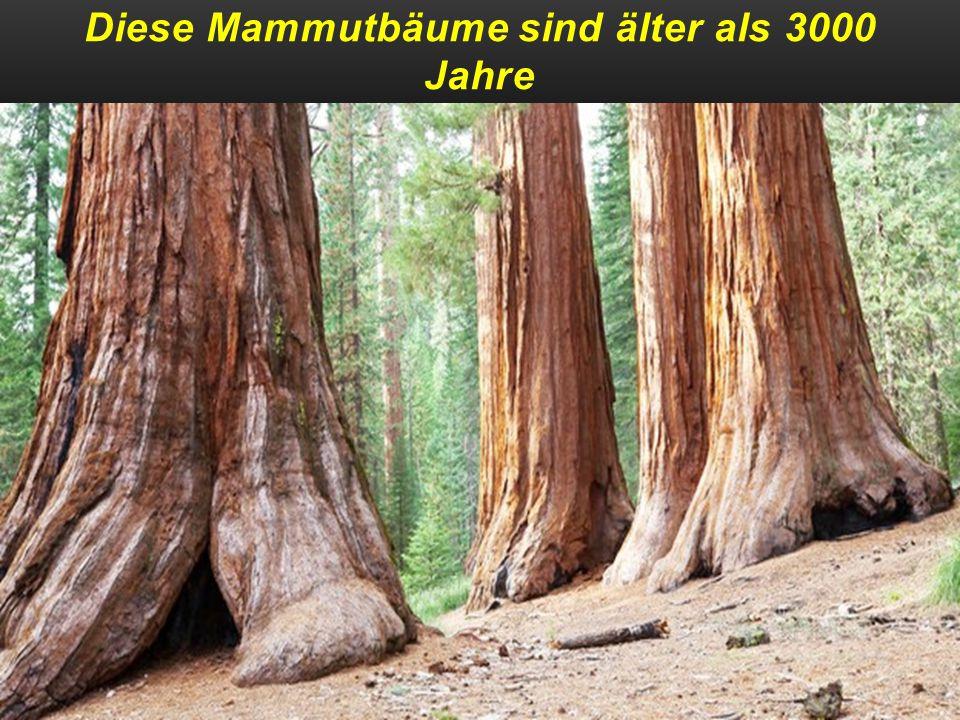 Diese Mammutbäume sind älter als 3000 Jahre und werden ca` 100 m hoch