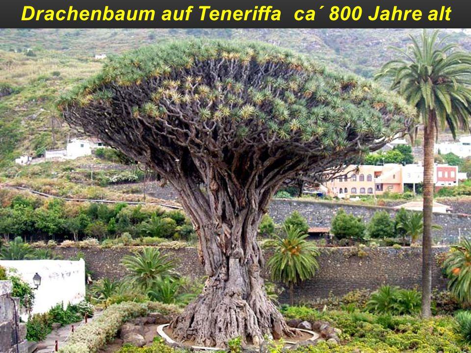 Drachenbaum auf Teneriffa ca´ 800 Jahre alt