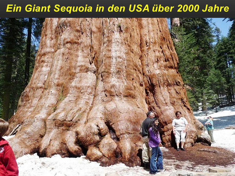 Ein Giant Sequoia in den USA über 2000 Jahre
