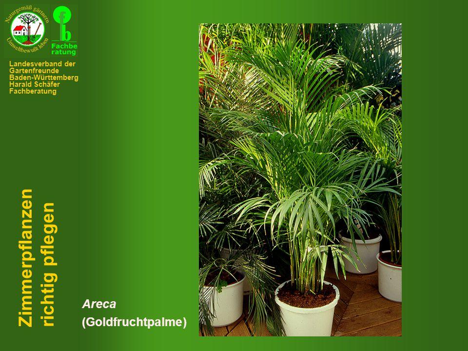 Areca (Goldfruchtpalme) Zimmerpflanzen richtig pflegen Landesverband der Gartenfreunde Baden-Württemberg Harald Schäfer Fachberatung