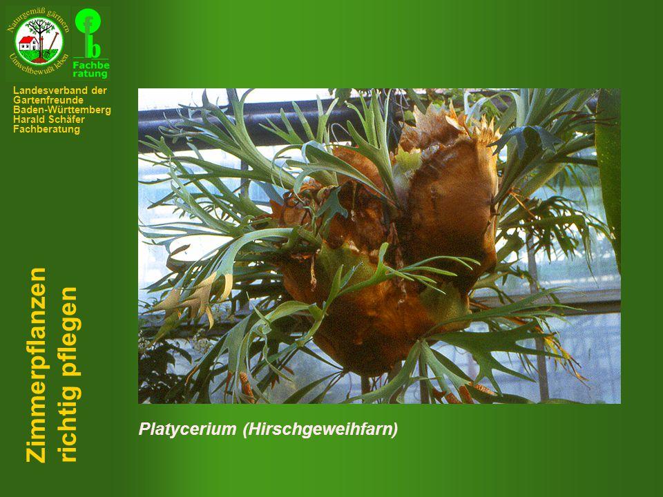 Platycerium (Hirschgeweihfarn) Zimmerpflanzen richtig pflegen Landesverband der Gartenfreunde Baden-Württemberg Harald Schäfer Fachberatung