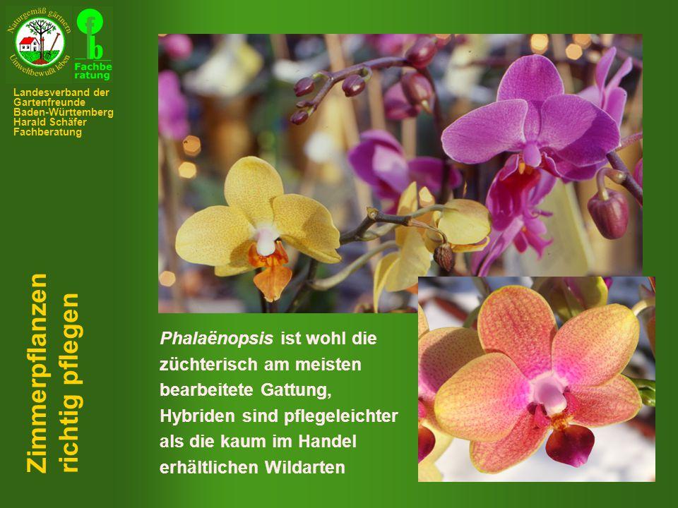 Phalaënopsis ist wohl die züchterisch am meisten bearbeitete Gattung, Hybriden sind pflegeleichter als die kaum im Handel erhältlichen Wildarten Zimmerpflanzen richtig pflegen Landesverband der Gartenfreunde Baden-Württemberg Harald Schäfer Fachberatung