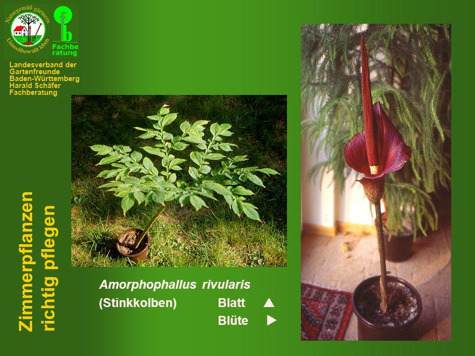 Amorphophallus rivularis (Stinkkolben)Blatt  Blüte  Zimmerpflanzen richtig pflegen Landesverband der Gartenfreunde Baden-Württemberg Harald Schäfer Fachberatung