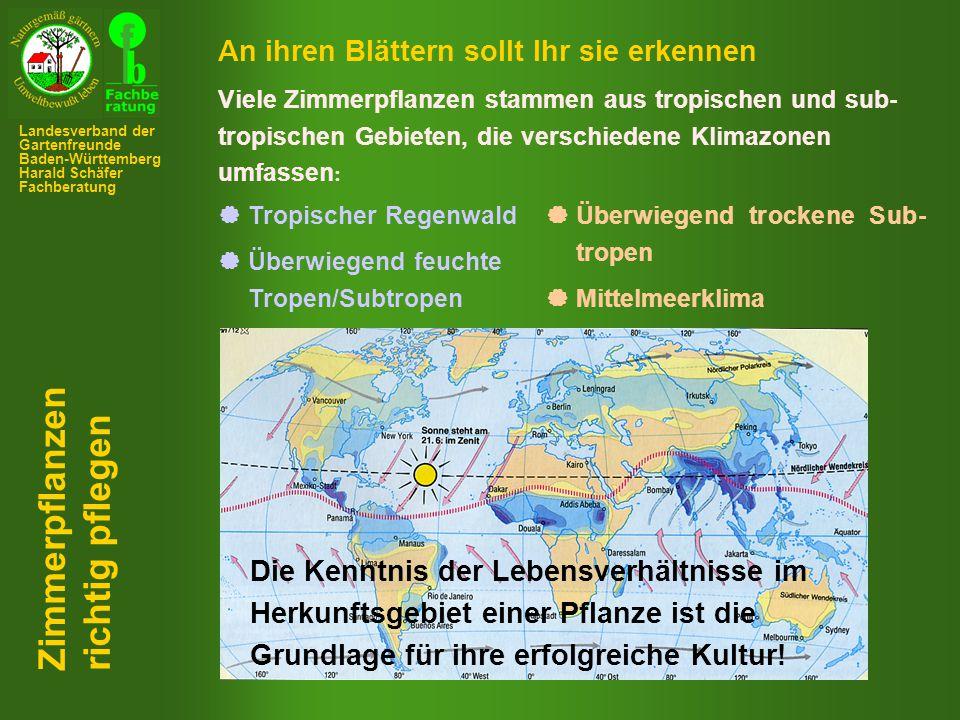 Querschnitt durch eine Luftwurzel Sprossknolle (Pseudobulbe) von Calanthe Zimmerpflanzen richtig pflegen Landesverband der Gartenfreunde Baden-Württemberg Harald Schäfer Fachberatung