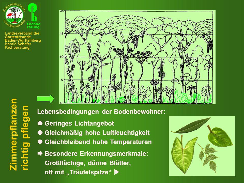 Kultur in Körbchen Kultur in aufgebunden Zimmerpflanzen richtig pflegen Landesverband der Gartenfreunde Baden-Württemberg Harald Schäfer Fachberatung