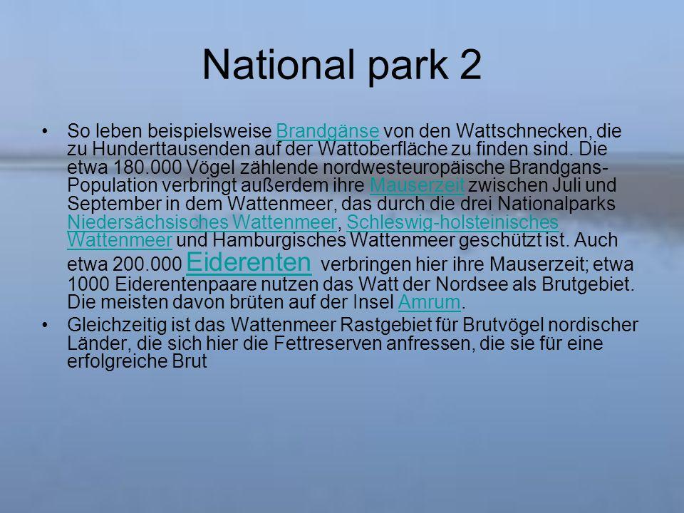 National park 2 So leben beispielsweise Brandgänse von den Wattschnecken, die zu Hunderttausenden auf der Wattoberfläche zu finden sind.
