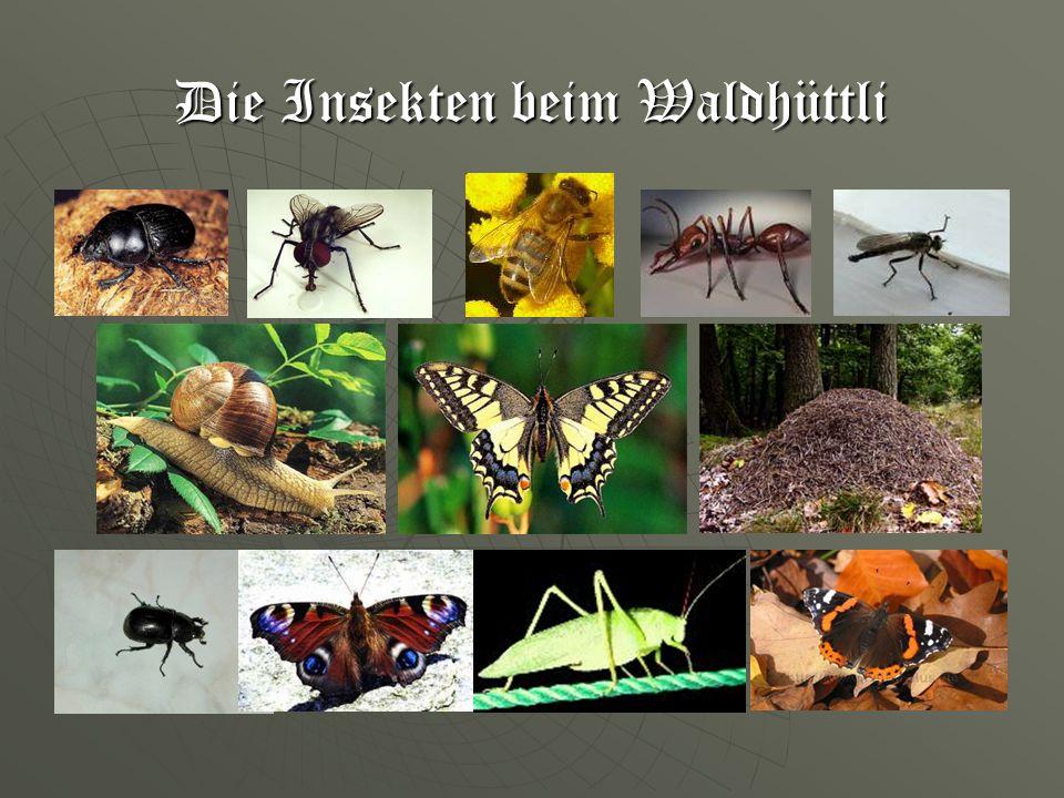 Die Insekten beim Waldhüttli