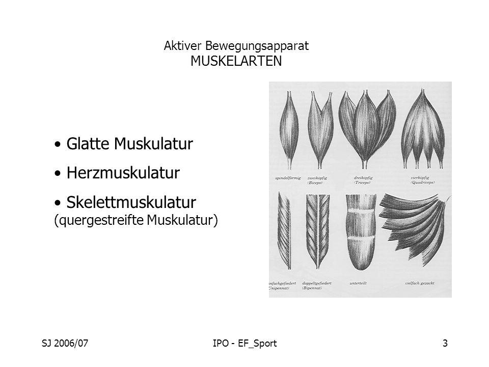 SJ 2006/07IPO - EF_Sport3 Aktiver Bewegungsapparat MUSKELARTEN Glatte Muskulatur Herzmuskulatur Skelettmuskulatur (quergestreifte Muskulatur)