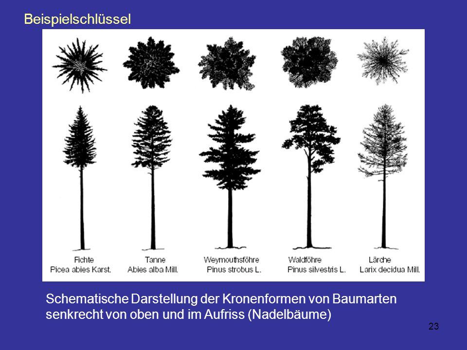 23 Schematische Darstellung der Kronenformen von Baumarten senkrecht von oben und im Aufriss (Nadelbäume) Beispielschlüssel
