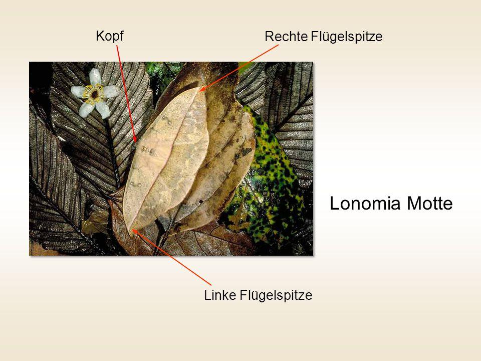 Lonomia Motte Kopf Rechte Flügelspitze Linke Flügelspitze