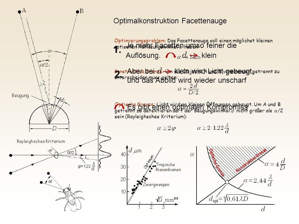 Optimierungsproblem: Das Facettenauge soll einen möglichst kleinen optischen Auflösungswinkel  haben: Konstruktive Grenze: Um die Objekte A und B vo