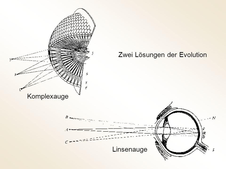 Komplexauge Linsenauge Zwei Lösungen der Evolution