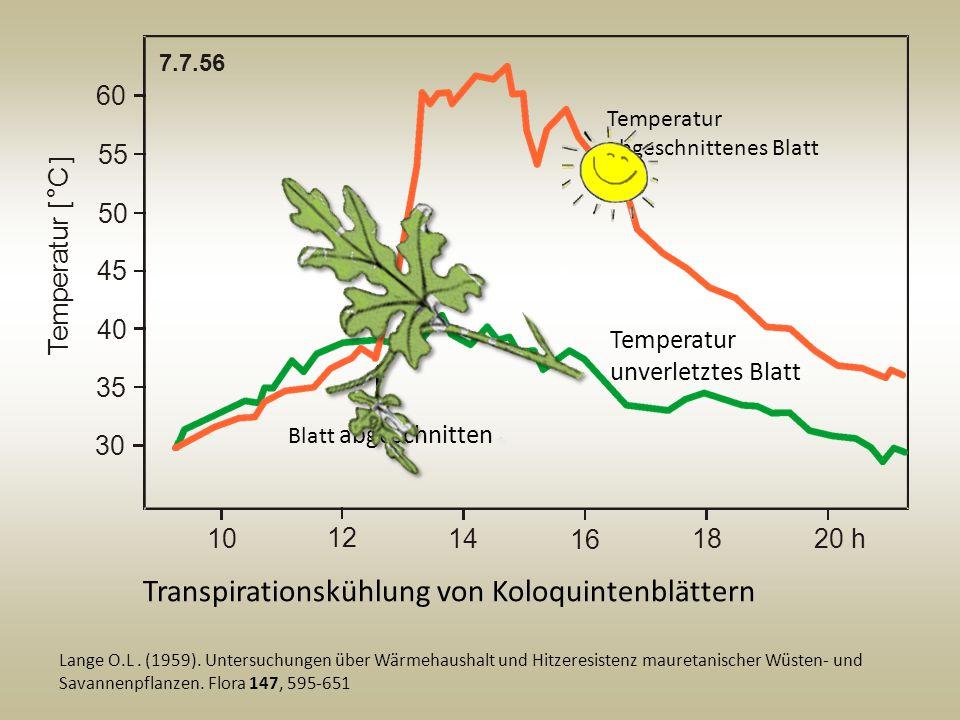 Transpirationskühlung von Koloquintenblättern Lange O.L. (1959). Untersuchungen über Wärmehaushalt und Hitzeresistenz mauretanischer Wüsten- und Savan
