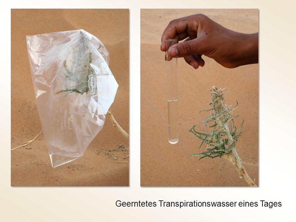Geerntetes Transpirationswasser eines Tages