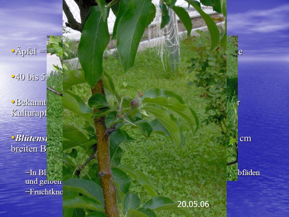 Der Apfel Äpfel = Gattung in der Unterfamilie der Kernobstgewächse Äpfel = Gattung in der Unterfamilie der Kernobstgewächse 40 bis 55 Arten 40 bis 55