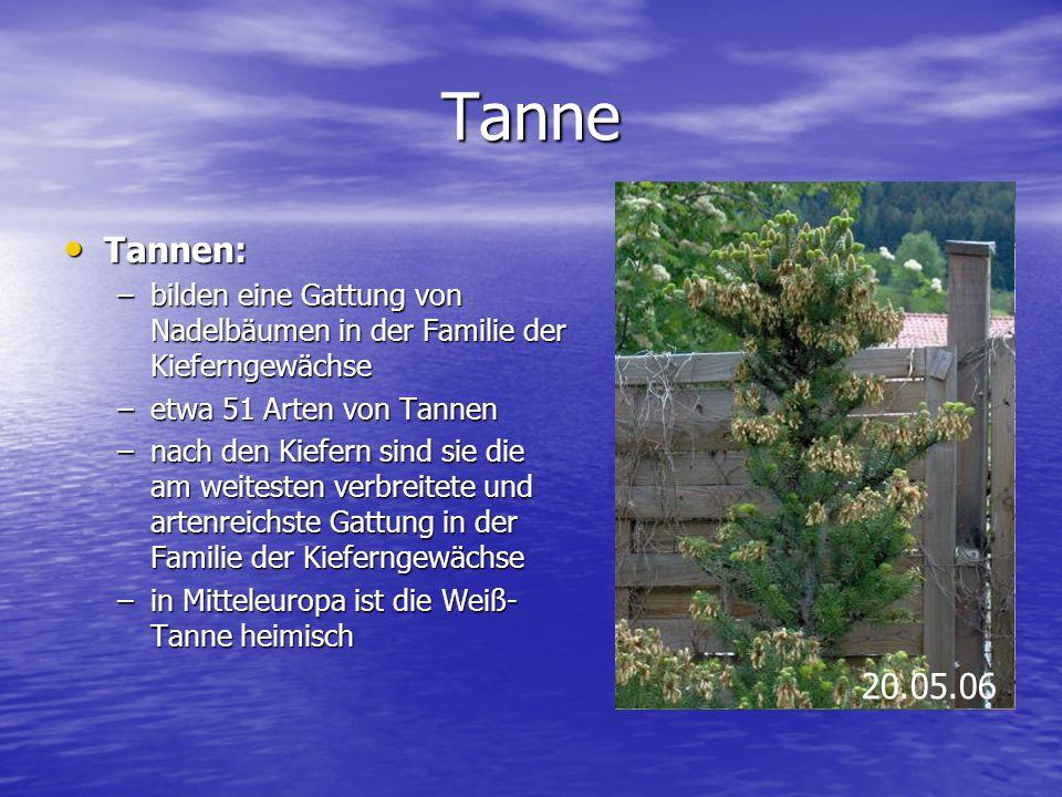 Tanne Tannen: Tannen: –bilden eine Gattung von Nadelbäumen in der Familie der Kieferngewächse –etwa 51 Arten von Tannen –nach den Kiefern sind sie die
