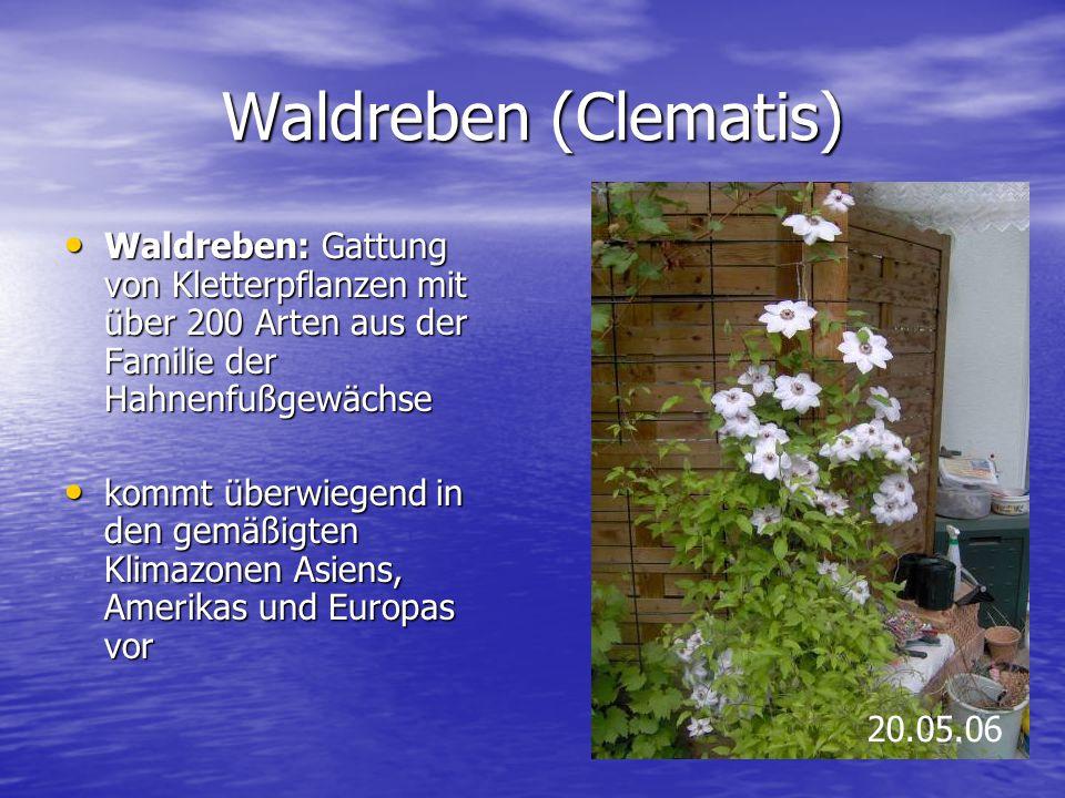 Waldreben (Clematis) Waldreben: Gattung von Kletterpflanzen mit über 200 Arten aus der Familie der Hahnenfußgewächse Waldreben: Gattung von Kletterpfl