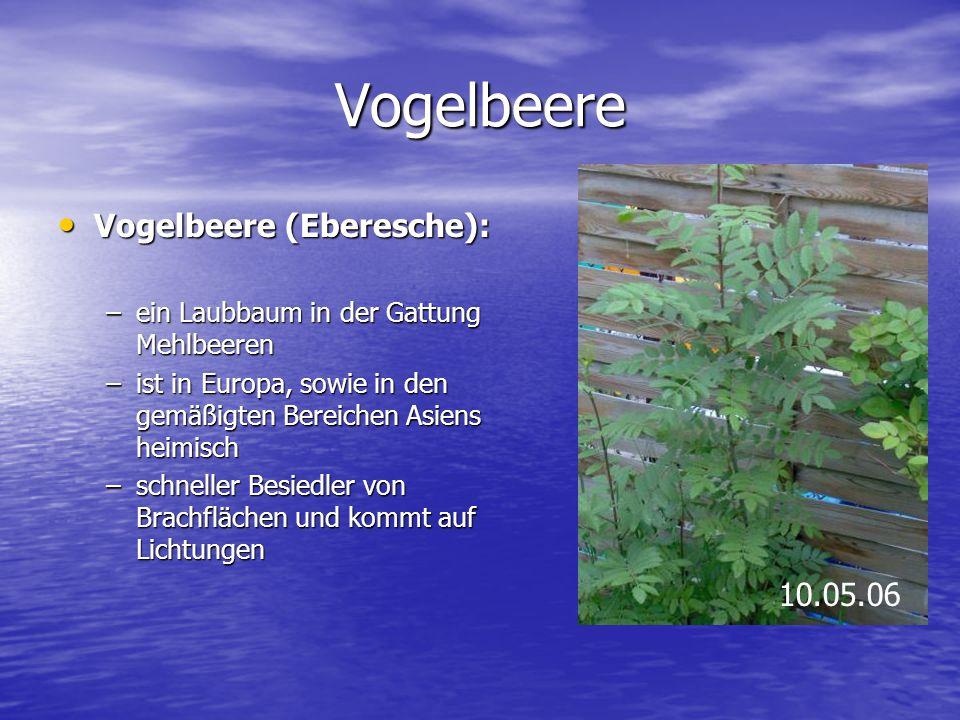 Vogelbeere Vogelbeere (Eberesche): Vogelbeere (Eberesche): –ein Laubbaum in der Gattung Mehlbeeren –ist in Europa, sowie in den gemäßigten Bereichen A