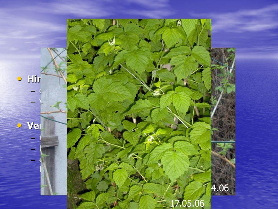 Himbeere Himbeere: Himbeere: –eine Pflanzenart der Gattung Rubus –Vermehrung über Ausläufer und Absenker Verbreitungsgebiet: Verbreitungsgebiet: –über