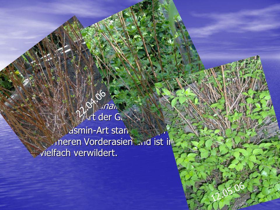 Jasmin Jasmin: Jasmin: –eine Gattung der Jasminum in der Familie der Ölbaumgewächse –Jasminum officinale = die einzige in Südeuropa heimische Art der