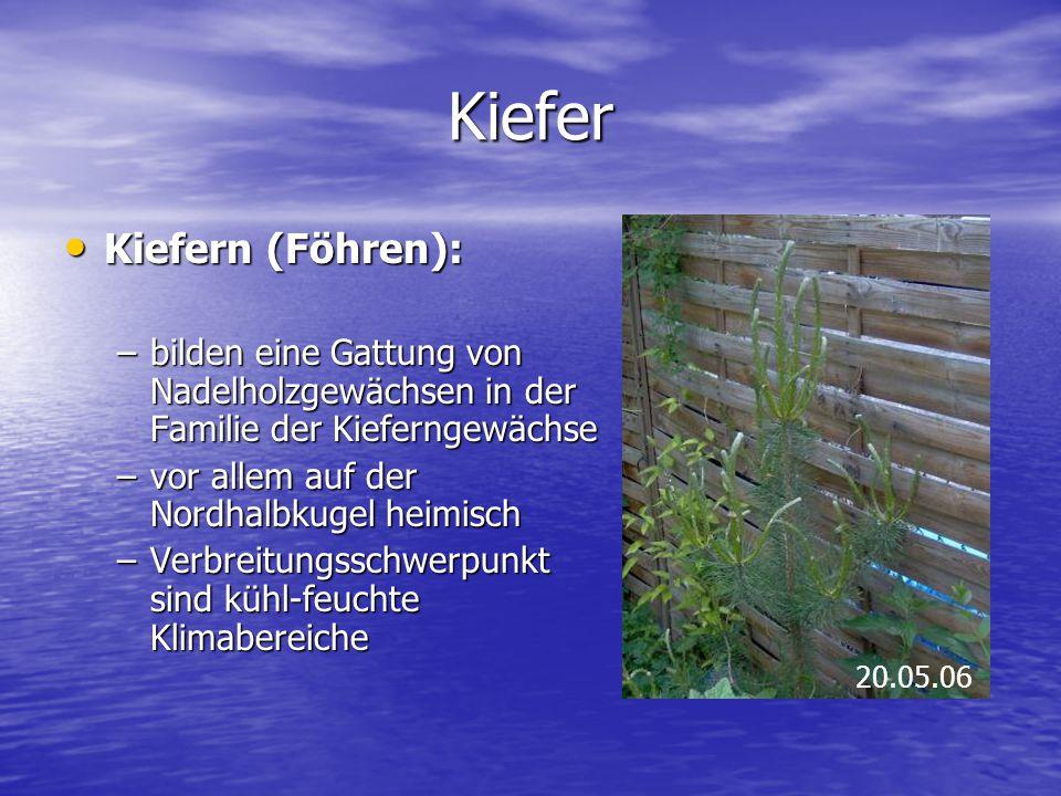 Kiefer Kiefern (Föhren): Kiefern (Föhren): –bilden eine Gattung von Nadelholzgewächsen in der Familie der Kieferngewächse –vor allem auf der Nordhalbk