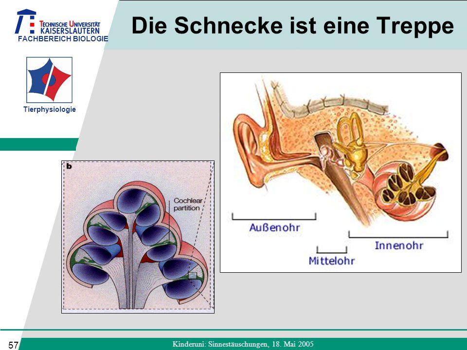 FACHBEREICH BIOLOGIE Tierphysiologie Kinderuni: Sinnestäuschungen, 18. Mai 2005 57 Die Schnecke ist eine Treppe