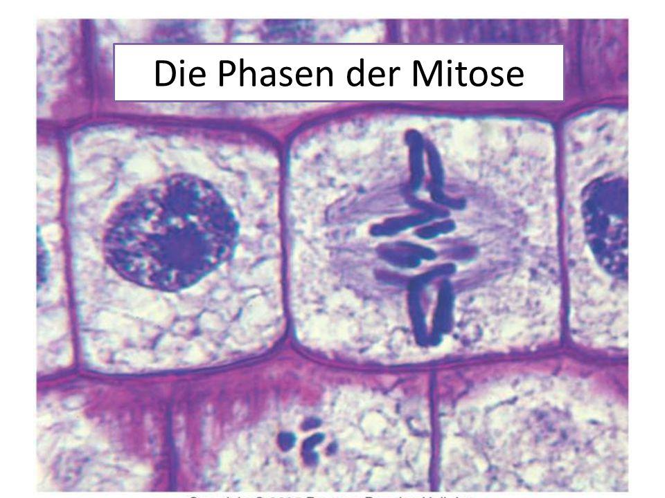 Die Phasen der Mitose