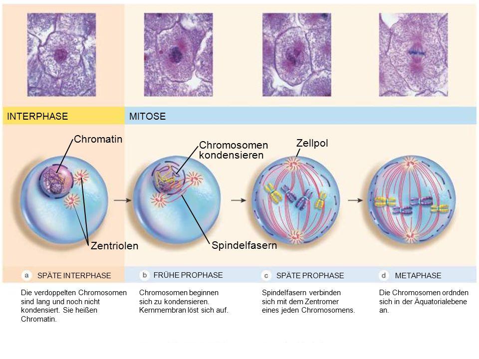 INTERPHASEMITOSE SPÄTE INTERPHASE Chromatin Zentriolen SPÄTE PROPHASEMETAPHASE Spindelfasern Zellpol Chromosomen kondensieren Die verdoppelten Chromos