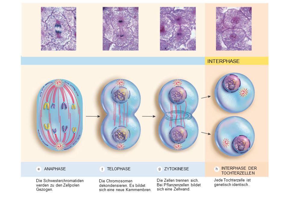 INTERPHASE ANAPHASE Die Schwesterchromatiden werden zu den Zellpolen Gezogen. Die Chromosomen dekondensieren. Es bildet sich eine neue Kernmembren. Di