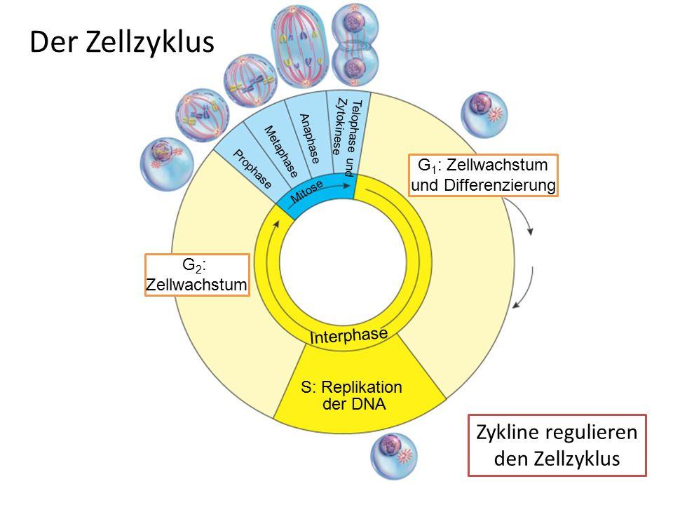 späte Prophase Interphase Anaphase Zytokinese Telophase Prophase Metaphase 1 2 3 4 5 6 7 8