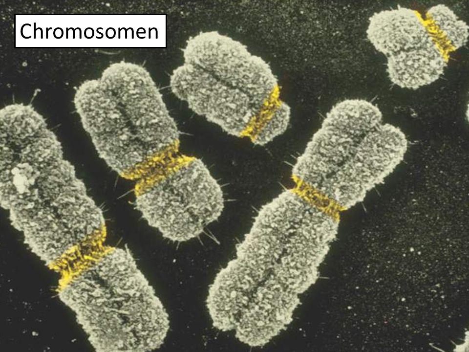 Histon Proteine DNA Chromosomen werden bei der Mitose durch Supercoiling kondensiert.