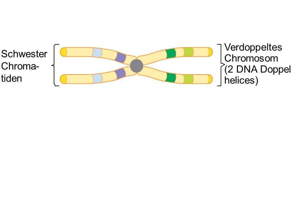 Schwester Chroma- tiden Verdoppeltes Chromosom (2 DNA Doppel helices)