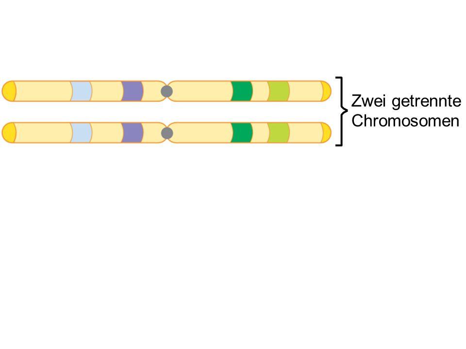 Zwei getrennte Chromosomen