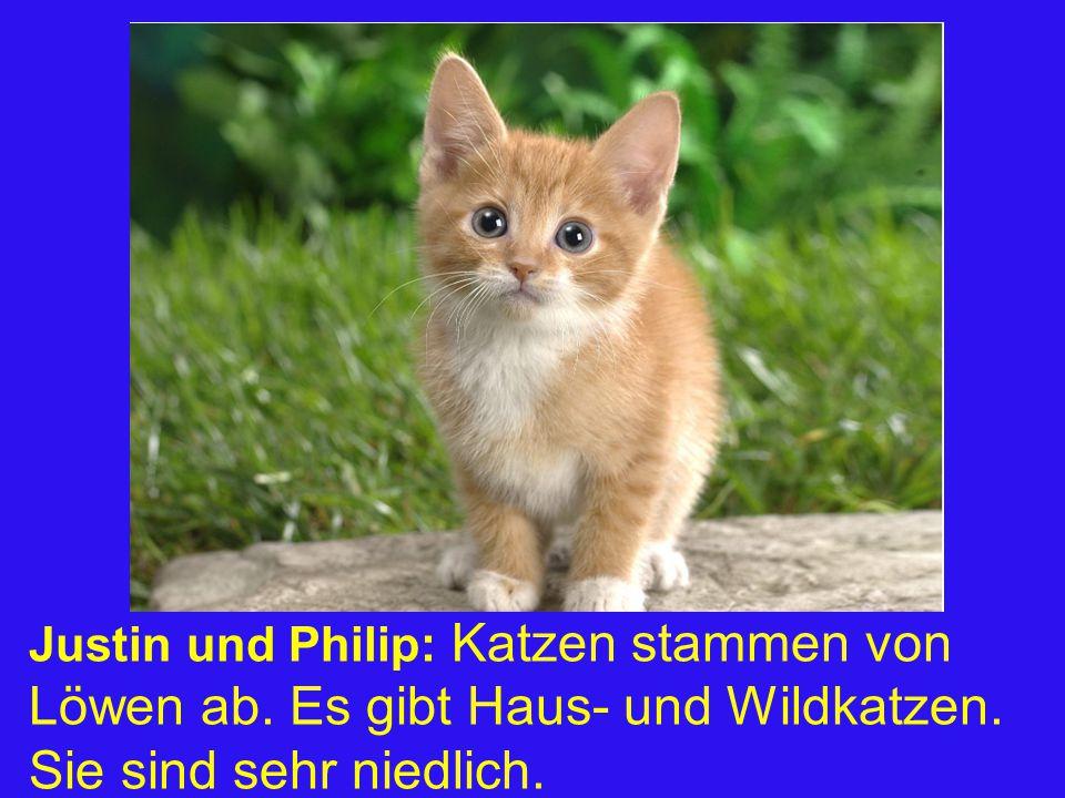 Justin und Philip: Katzen stammen von Löwen ab. Es gibt Haus- und Wildkatzen. Sie sind sehr niedlich.