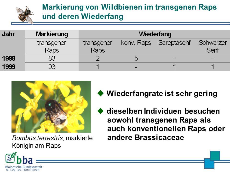 Markierung von Wildbienen im transgenen Raps und deren Wiederfang Bombus terrestris, markierte Königin am Raps  dieselben Individuen besuchen sowohl