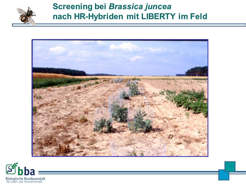Screening bei Brassica juncea nach HR-Hybriden mit LIBERTY im Feld