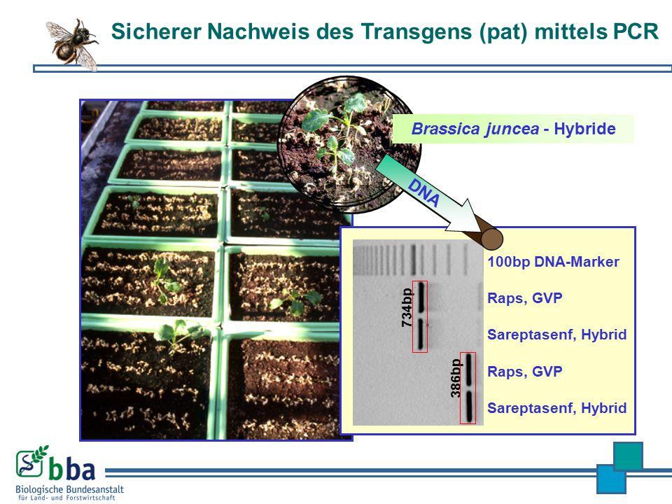 Raps, GVP Sareptasenf, Hybrid 734bp Raps, GVP Sareptasenf, Hybrid 386bp 100bp DNA-Marker DNA Brassica juncea - Hybride Sicherer Nachweis des Transgens