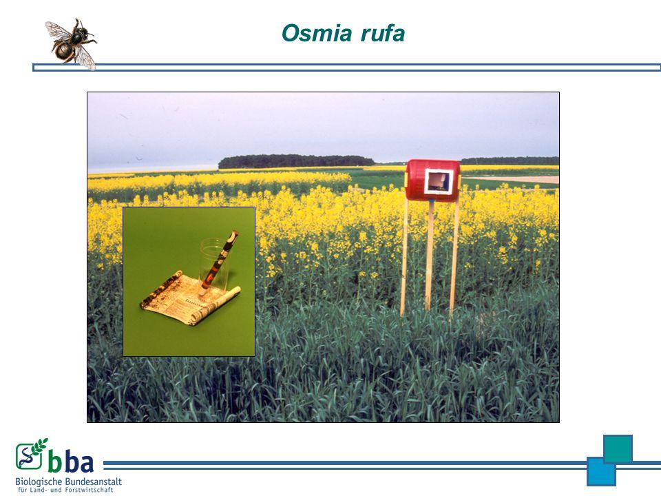 Osmia rufa