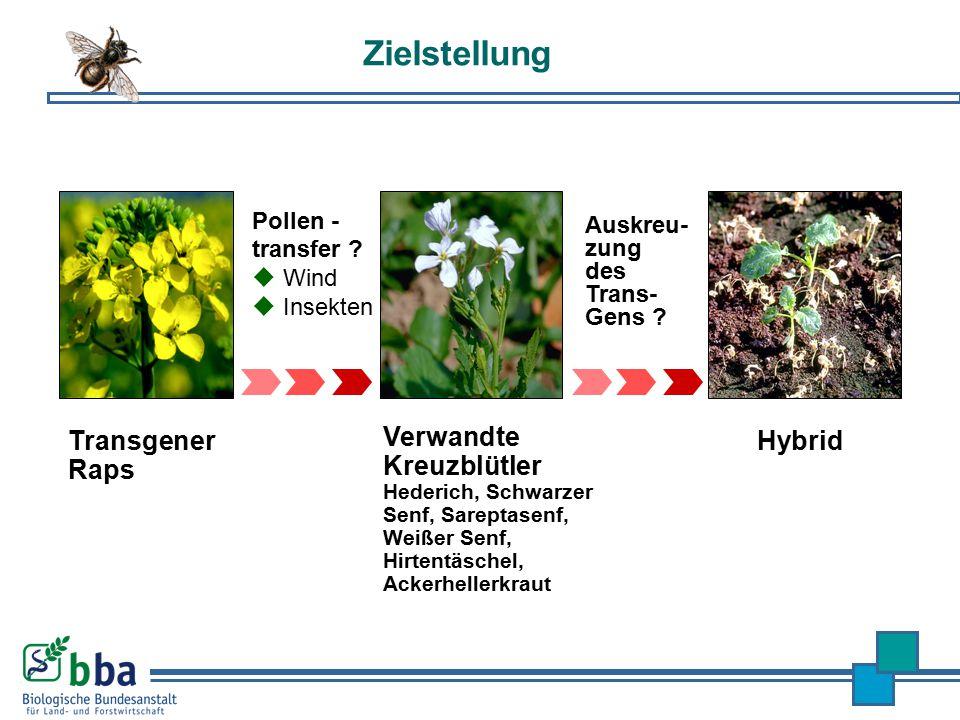 Zielstellung Pollen - transfer ?  Wind  Insekten Auskreu- zung des Trans- Gens ? Transgener Raps Hybrid Verwandte Kreuzblütler Hederich, Schwarzer S