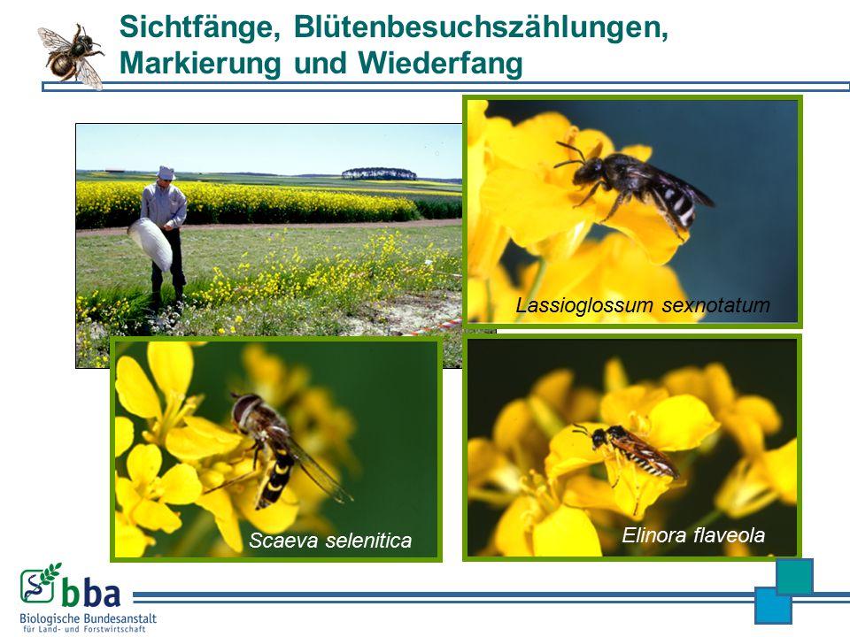 Lassioglossum sexnotatum Scaeva selenitica Elinora flaveola Sichtfänge, Blütenbesuchszählungen, Markierung und Wiederfang