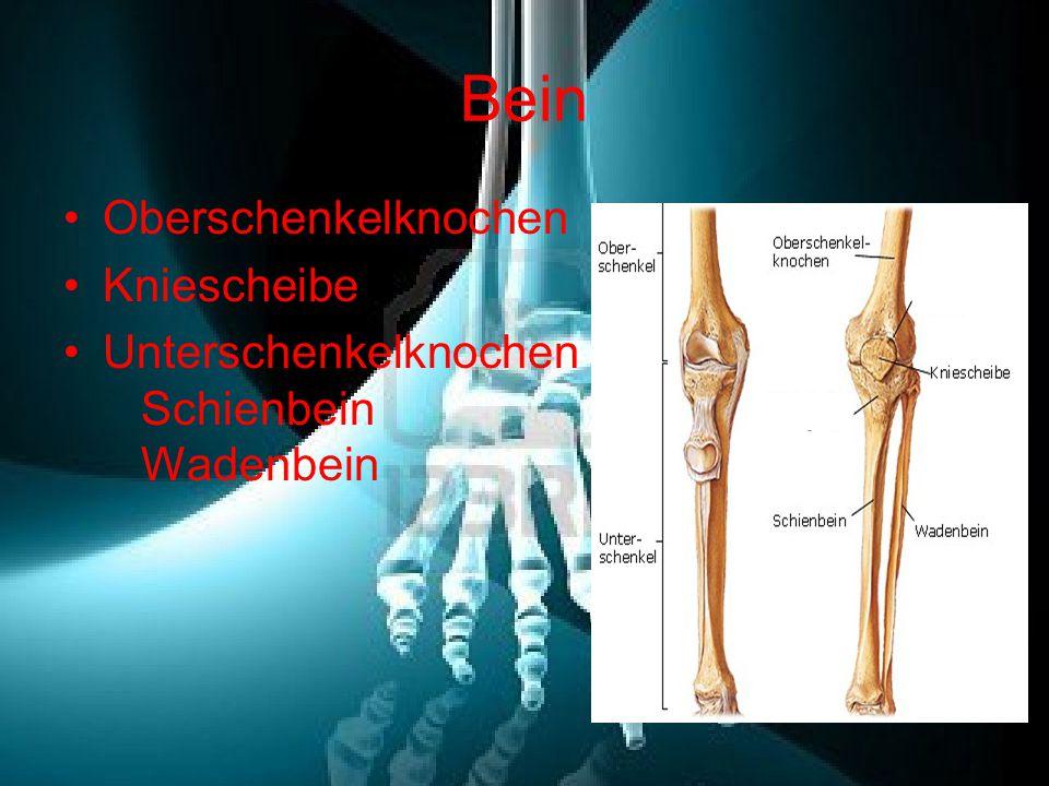 Bein Oberschenkelknochen Kniescheibe Unterschenkelknochen Schienbein Wadenbein